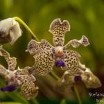 Giardini di peradenya_orchidea