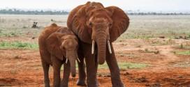 elefante con piccolo